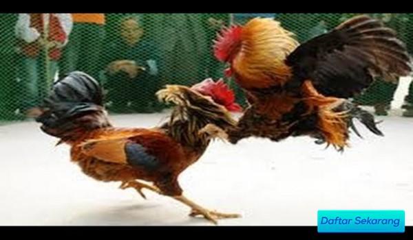 Panduan Untuk Memperoleh Situs Adu Ayam Online Yang Terpercaya